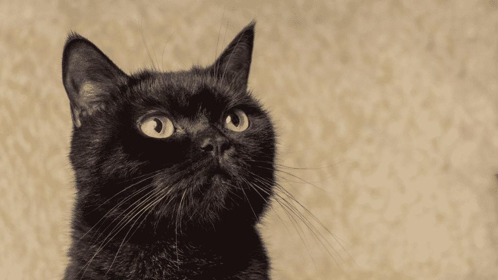 Gato preto olhando para cima