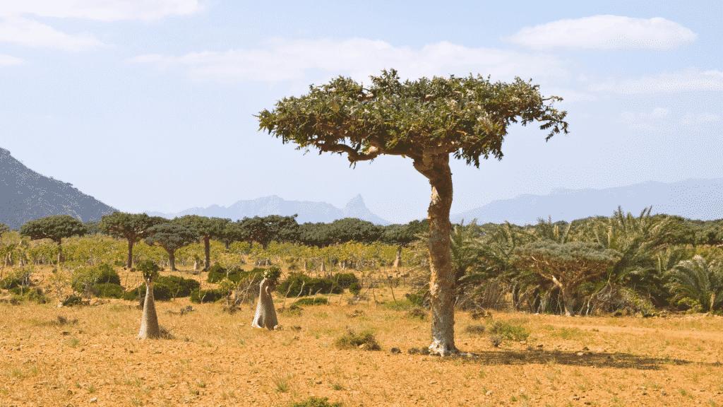 Árvore de Mirra
