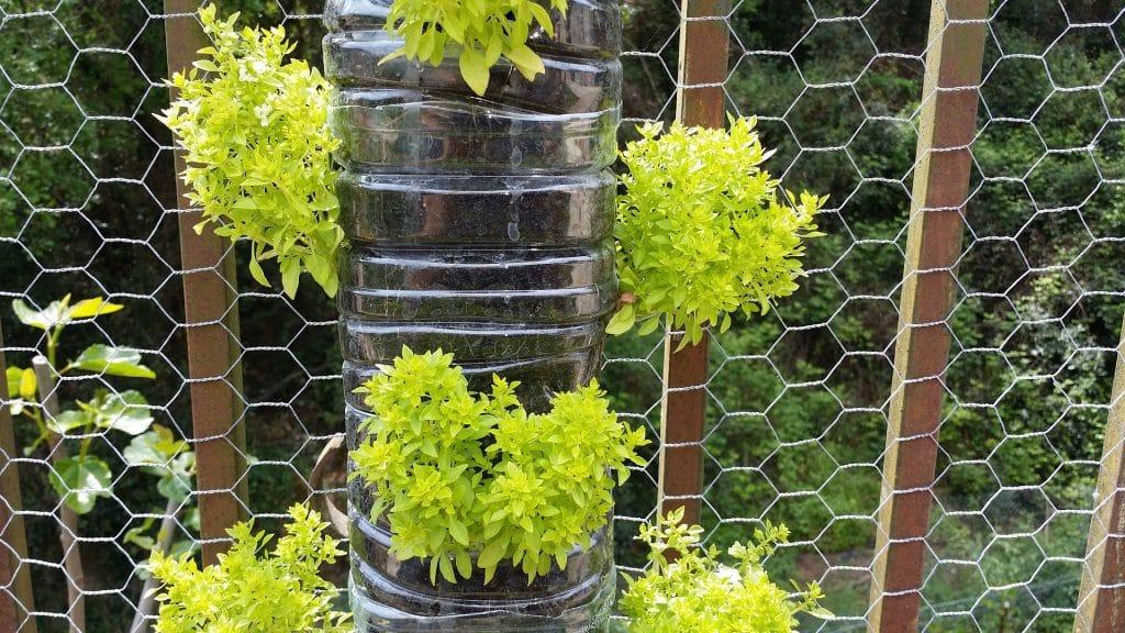Imagem de um grande vaso com a plantação da erva de alfavaca. Várias mudas cresceram e estão quase prontas para serem colhidas.