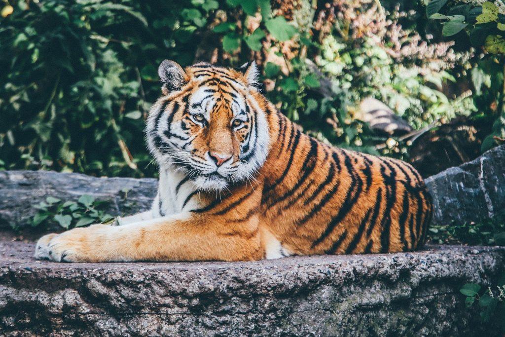 Imagem de uma floresta e nela temos um tigre deitado sobre uma pedra. Ele representa do tigre do filme As Aventuras de Pi.