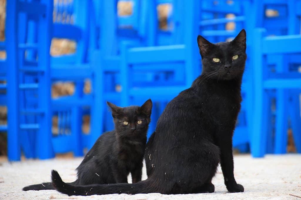 Imagem de um gato preto e seu filhote. Ao fundo várias cadeiras pintadas na cor azul, uma sobre a outra.