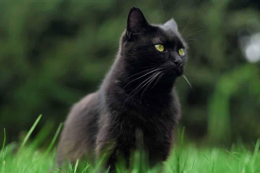 Imagem de um gato preto sentado em um gramado bem verdinho.
