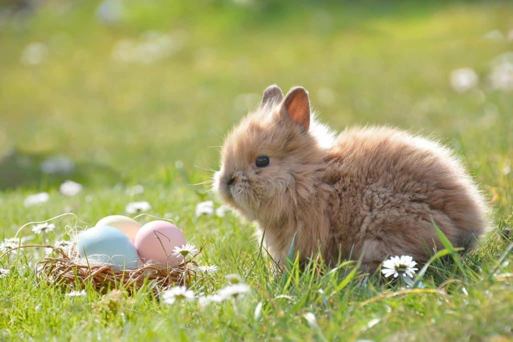 Imagem de um lindo coelhinho de pelugem marrom clara em um lindo cramado. Ele está olhando para uma certinha de vime contendo ovos coloridos representando a Páscoa.