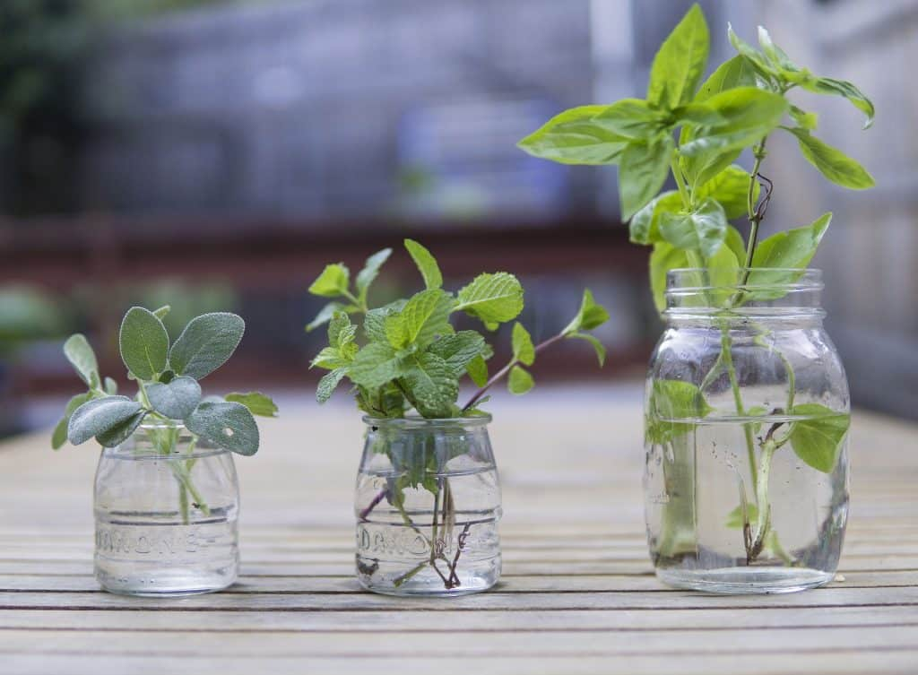 Imagem de várias ervas distribuídas em 03 vases de vidro com água. No maior deles está a folha de alfavaca.