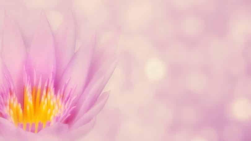 Imagem de uma linda flor de lótus na cor rosa.
