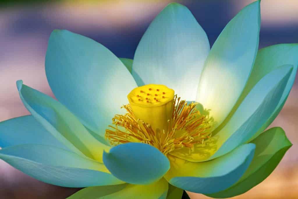 Foto de uma flor de lótus aberta, vista de perto, com o fundo desfocado.
