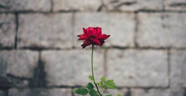 Rosa pequena ao lado de um muro de cimento