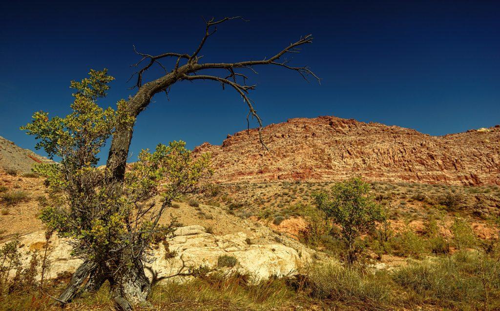 Imagem da árvore de mirra em um deserto.