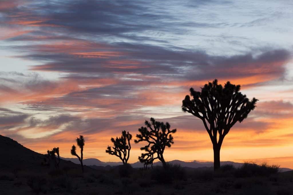 Imagem de várias árvores de mirra no deserto e ao fundo um lindo por do sol.
