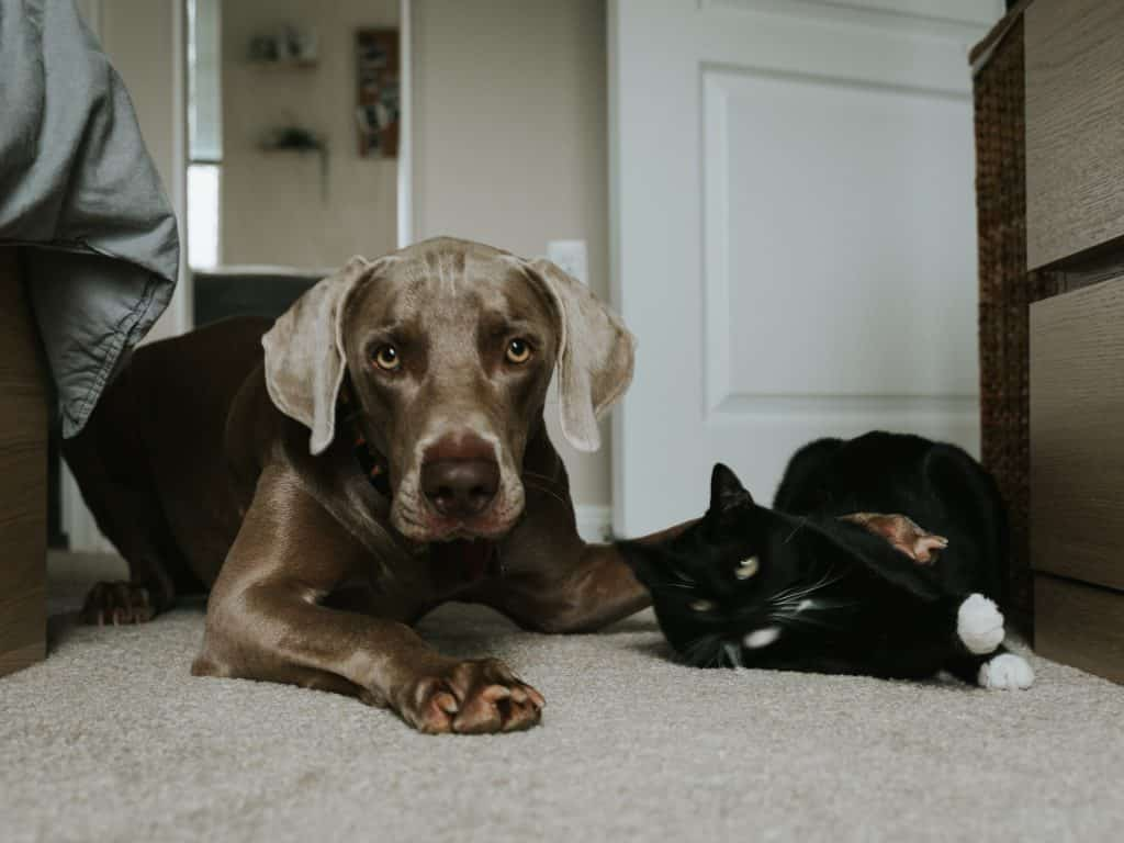 Cachorro marrom e gato preto deitados no chão lado-a-lado.