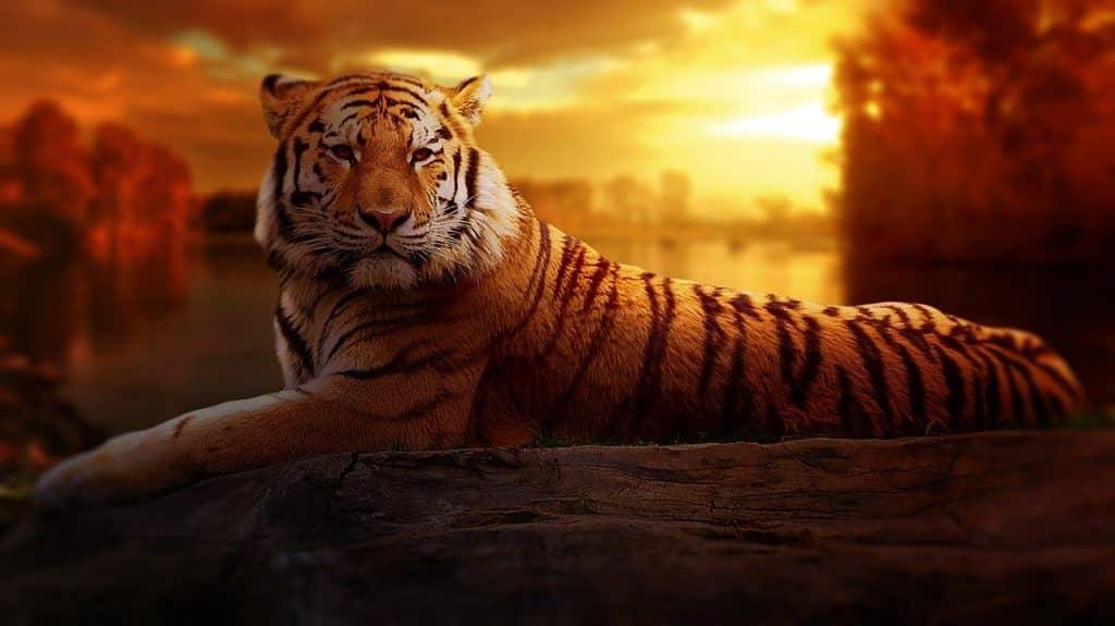 Imagem de um tigre deitado sobre uma pedra e ao fundo um lindo por do sol.