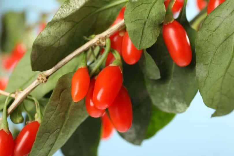 Árvore com a fruta Goji Berry