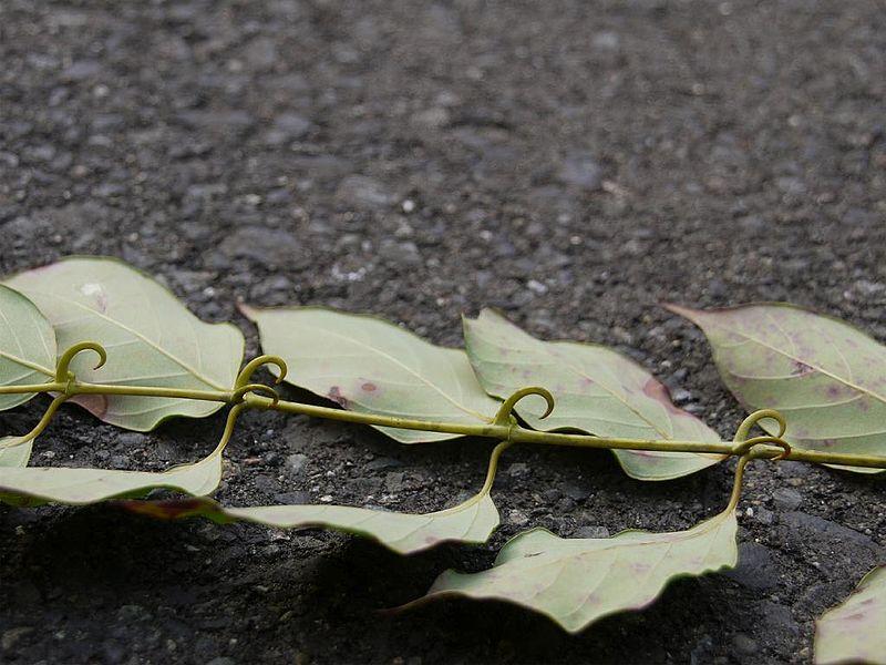 Foto de um ramo de unha-de-gato.