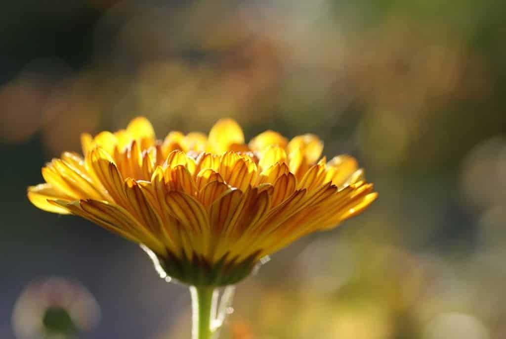 Foto de uma flor de calêndula.