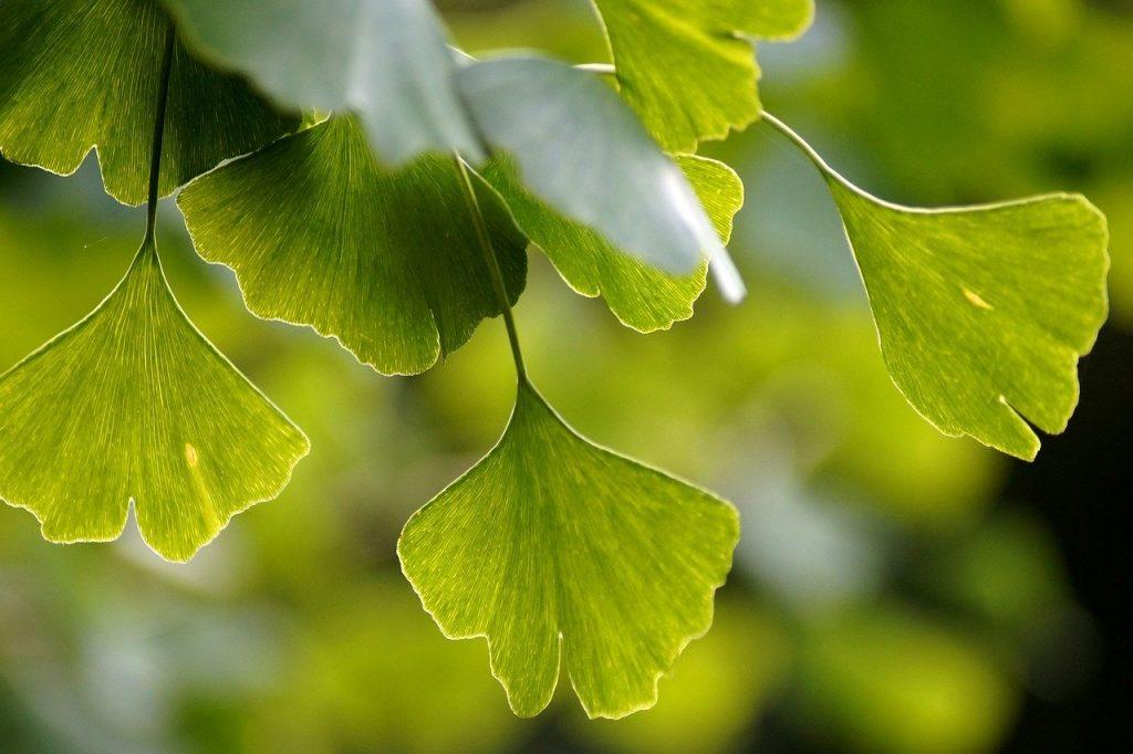 Imagem ampliada de folhas de ginko biloba.