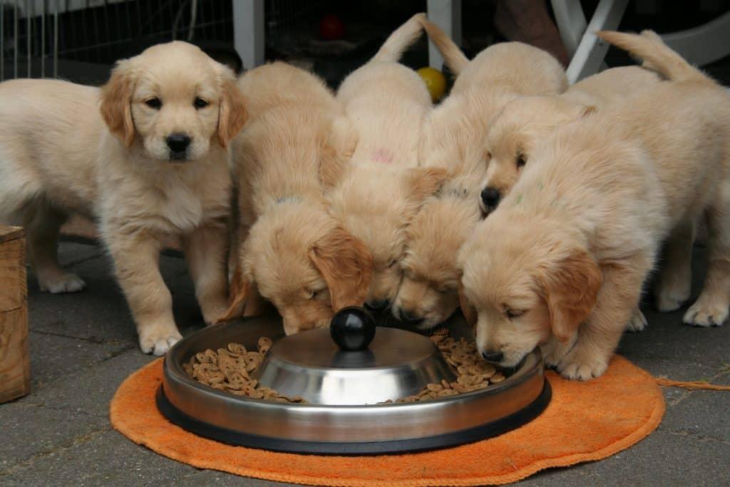 Vários filhotes de cachorros da raça Golden Retriever se alimentando de ração.