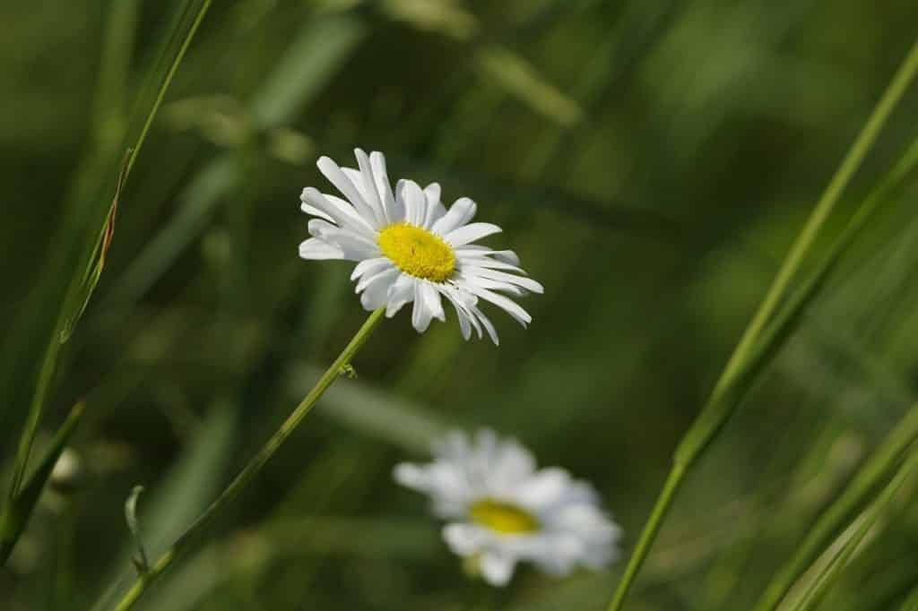 Flores de macela em um campo.