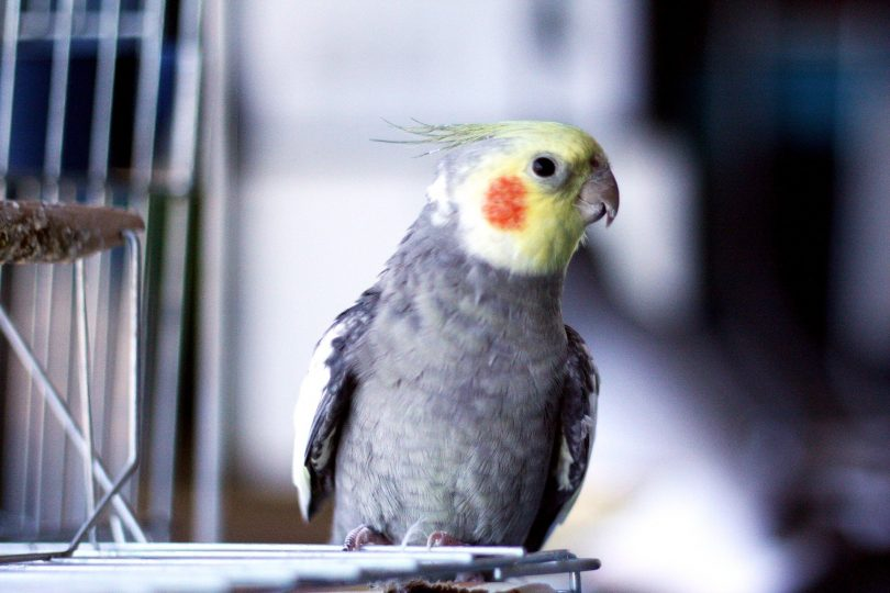Imagem de uma linda calopsita fora da gaiola.