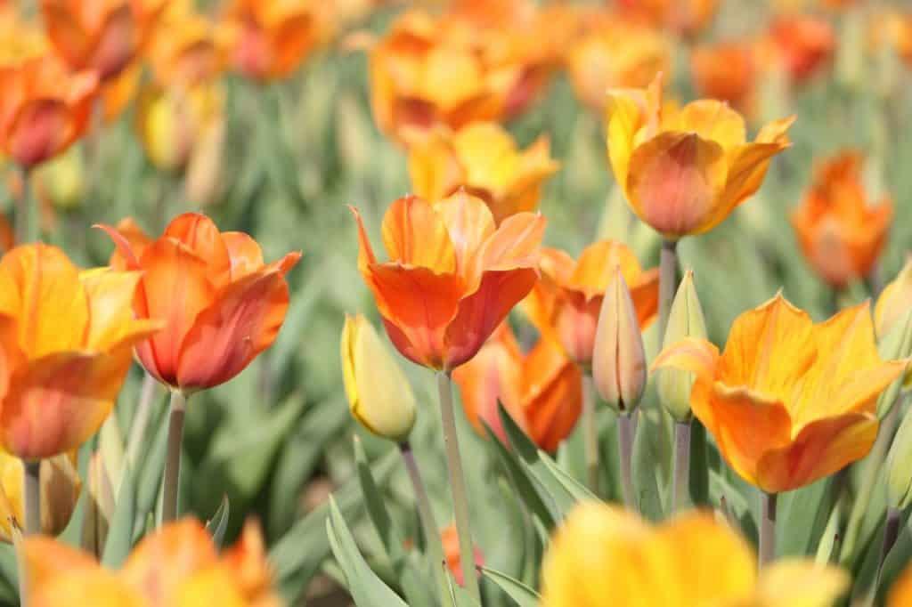 Campo de flores desabrochando visto durante o dia.