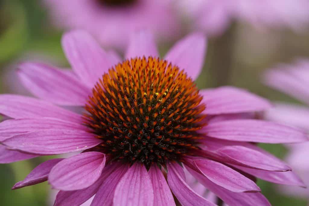 Foto ampliada de uma flor de equinácia.