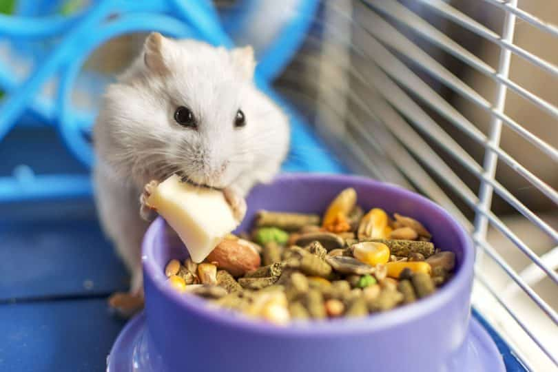 Hamster branco em frente a um potinho de ração e grãos, comendo um pedacinho de ração branca.