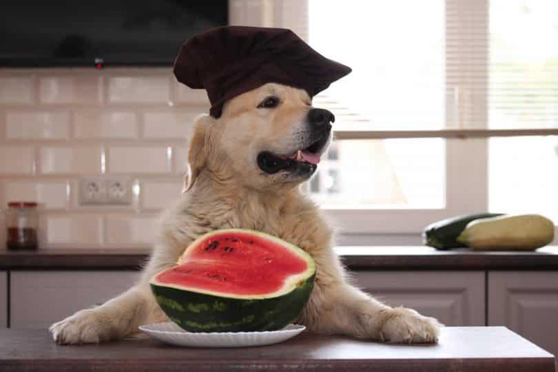 Imagem de um cão da raça Golden Retriever sentado de frente a uma mesa usando um capelo e pronto para degustar uma melancia.