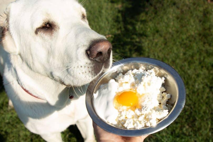 Imagem de um lindo e grande cachorro branco apreciando uma tigela de comida contendo um ovo.