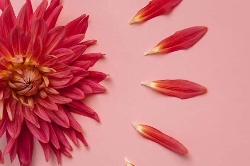 Flor cor-de-rosa com pétalas ao lado