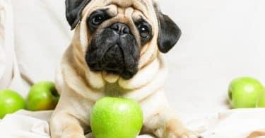 Imagem de um cachorro da raça pug deitado e entre ele uma maçã verde.