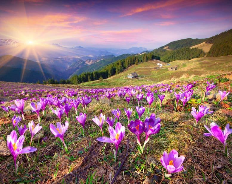 Flores abertas em campo com sol refletindo ao fundo
