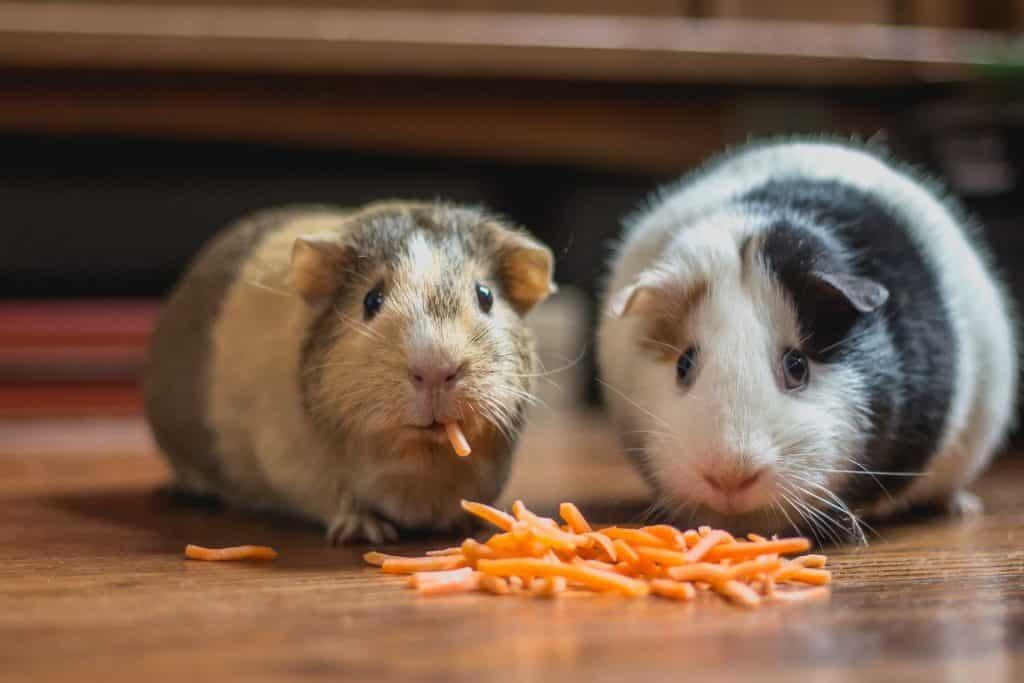 Dois hamsters no chão comendo tirinhas laranjas de cenoura.