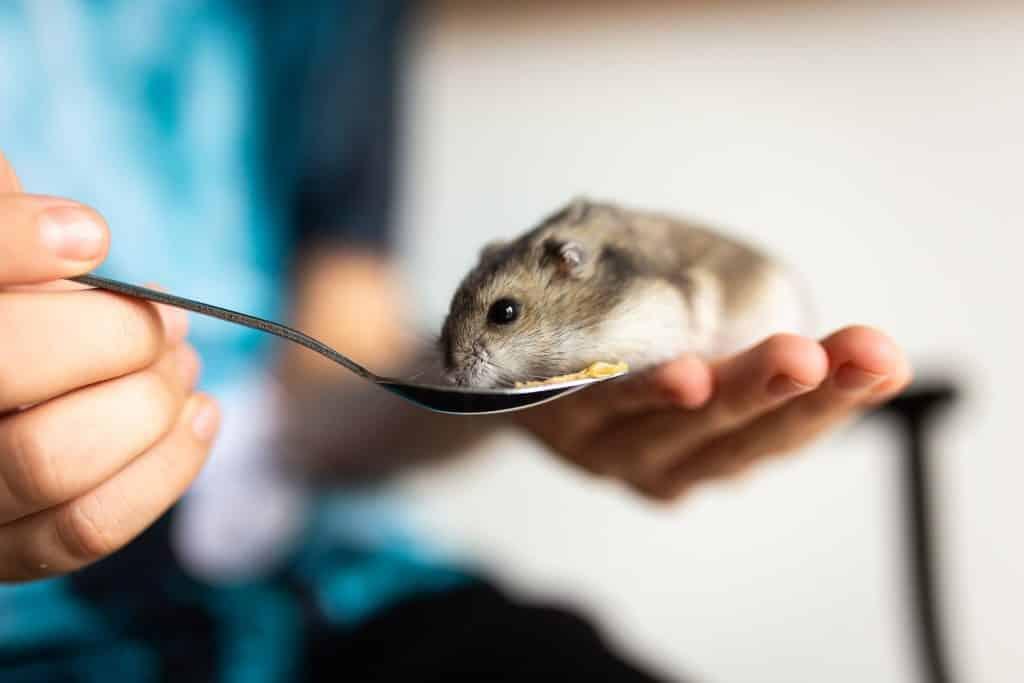 Hamster na mão de uma pessoa comendo algum alimento em uma colher.