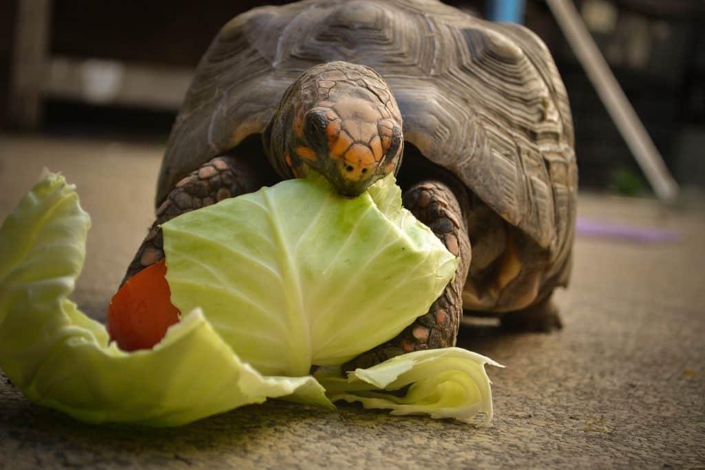 Imagem de um lindo e grande jabuti comendo folhas de repolho.