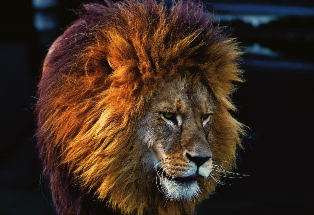 Leão olhando para o lado
