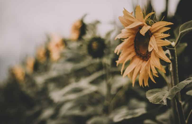 Campo de flores de girassol