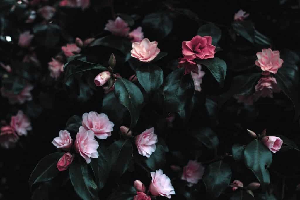 Jardim com flores rosas