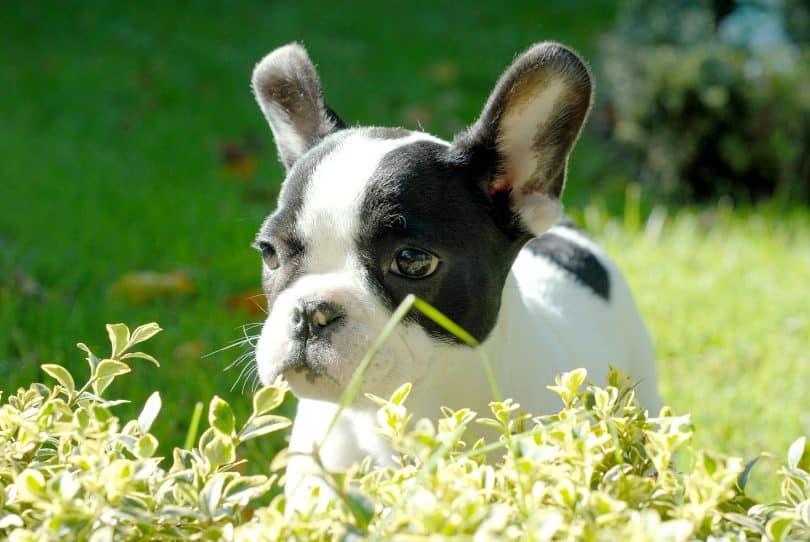 Imagem de um lindo cãozinho com manchas pretas em volta dos olhos e de pelagem branca.