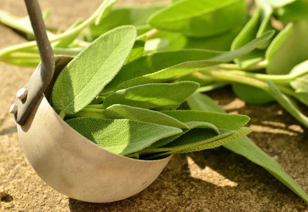 Imagem de uma planta medicinal para tratar a ansiedade. Ela está em uma concha e é bem verdinha.