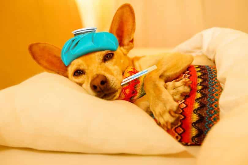 Imagem de um cão na cor caramelo. Ele está doentinho com um termômetro na boca e uma bolsa de gelo sobre a cabeça. Ele está esperando o remédio homeopático para se curar.