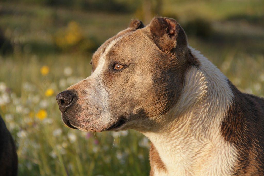 Imagem de um cachorro da raça pitbull. Ele é mesclado nas cores creme e branco.