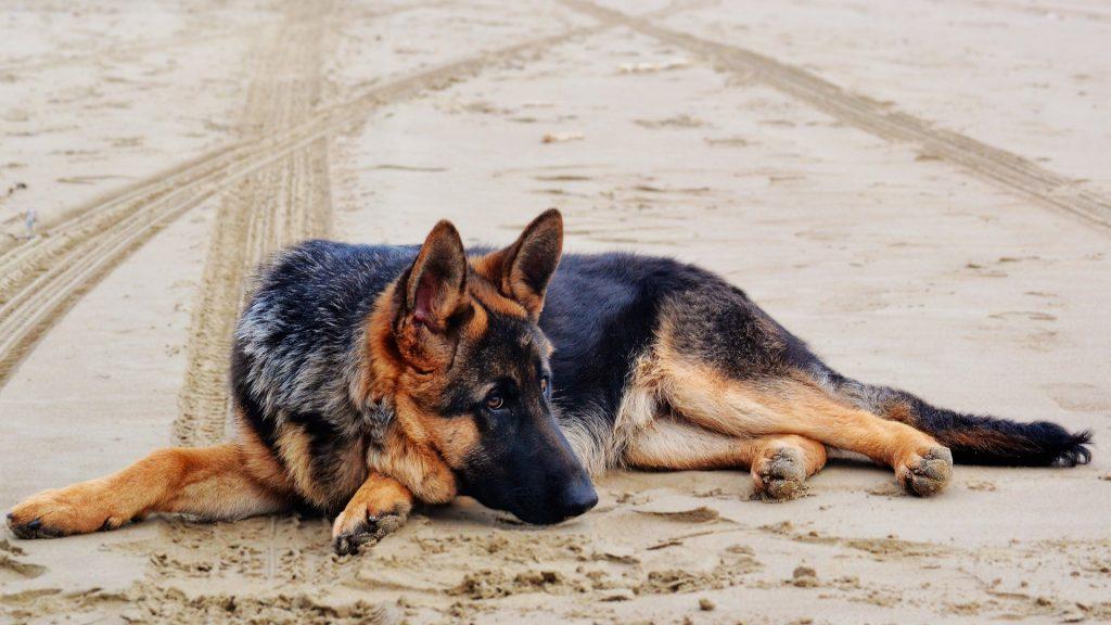 Imagem de um cachorro da raça pastor alemão. Ele está atento e deitado em uma areia de praia.