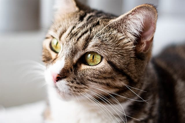 Gato cinza visto de perto com olhos verdes