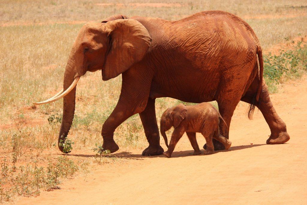 Elefante andando ao lado de seu filhote