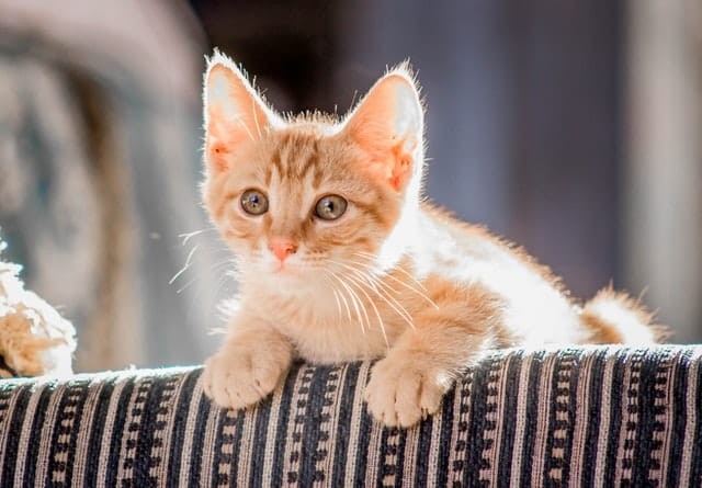 Gato filhote apoiado em sofá no sol