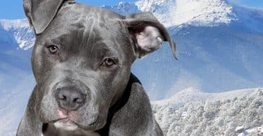 Imagem de um cachorro da raça pitbull nas cores cinza e branco. Ao fundo uma montanha coberta com neve.
