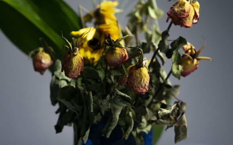 Flores mortas em um vaso