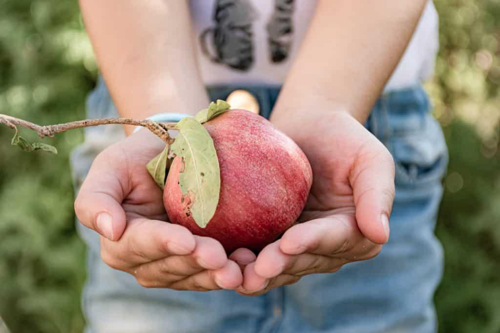 Imagem de uma pessoa segurando em suas mãos uma linda e saborosa maçã - fruta para ser degustada no dia da celebração do ano novo judaíco.