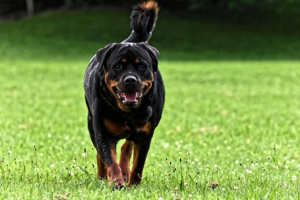 Imagem de um cachorro da raça rottweiler andando em um espaço gramado.
