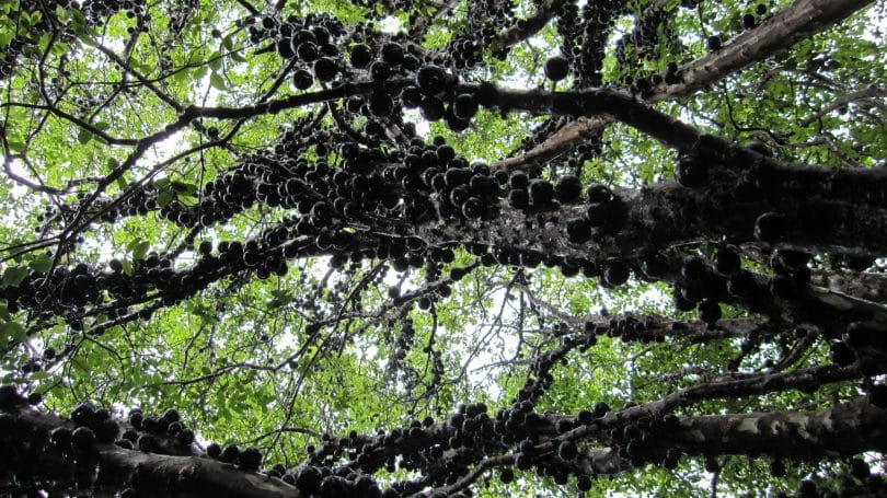 Árvore Jabuticabeira
