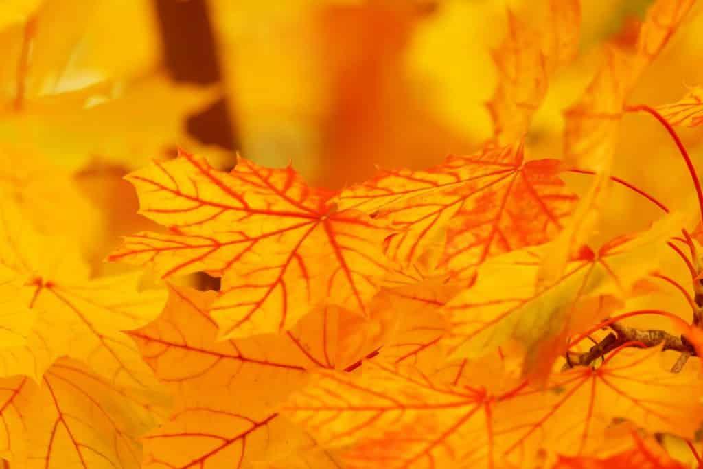 Imagem amarela com folhas de outono também amareladas.